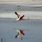 Vliegende flamingo